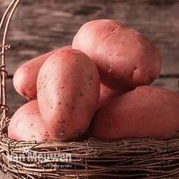 Potato 'Sarpo Mira'