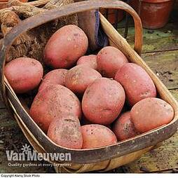 Potato 'Rooster'