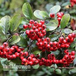 Pyracantha coccinea 'Red Column' (Large Plant)
