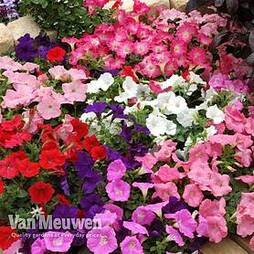 Petunia 'Bedding Mix'