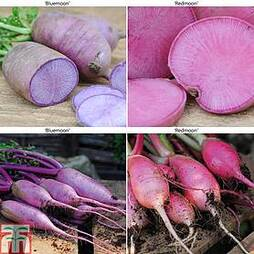 Radish 'Bluemoon and Redmoon Mix' F1 Hybrid