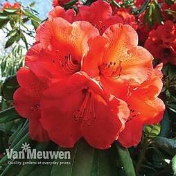 Rhododendron 'Geisha Orange' (Azalea Group)