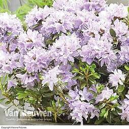 Rhododendron 'Gristede'