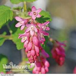 Ribes sanguineum 'King Edward Vii'