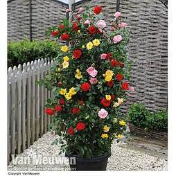 Rose '3-in-1' Collection (Climbing Rose)