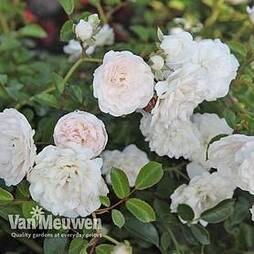 Rose 'Sea Foam' (Shrub Rose)