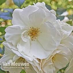 Rose rugosa 'Alba' (Species Shrub Rose)