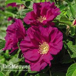 Rose rugosa 'Rubra' (Species Shrub Rose)