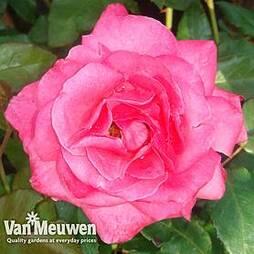 Rose 'Easy Elegance Grandma's Blessing' (Shrub Rose)