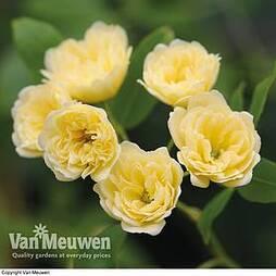 Rose banksiae 'Lutea'