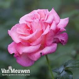 Rose 'Breeder's Choice Pink'