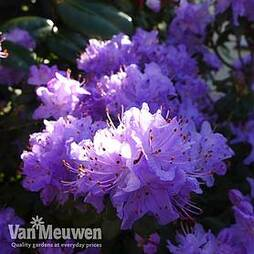 Rhododendron 'Blue Diamond'
