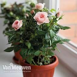 Rose Classic (Miniature)