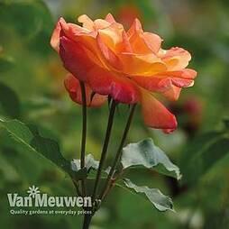 Rose 'Masquerade'