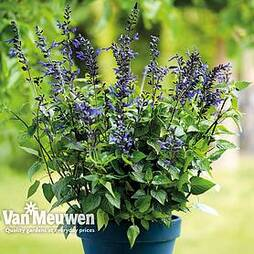 Salvia Salgoon 'Lake McKenzie'