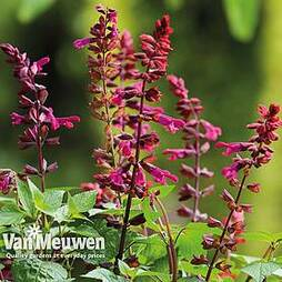 Salvia 'Strawberry Lake'