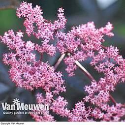 Sambucus nigra f. porphyrophylla 'Black Beauty' (Large Plant)