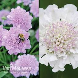 Scabious 'Kudos Collection'