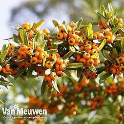 Sea Buckthorn Hedging