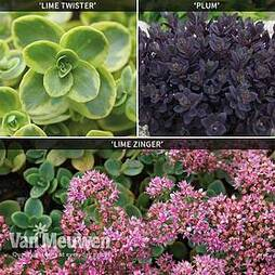 Sedum 'Sunsparkler' Collection