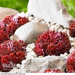 Sempervivum arachnoideum 'Coral Red'