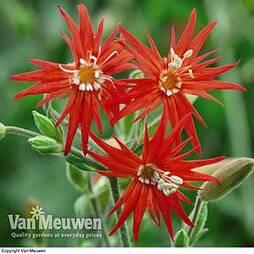Silene 'Starburst' (Seeds)