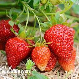 Strawberry 'Albion' (Everbearer/ All Season)