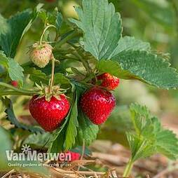 Strawberry 'Mara des Bois'