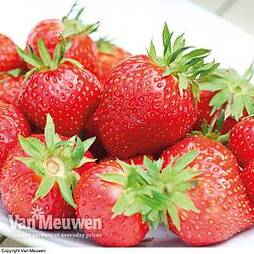 Strawberry 'Anais' (Everbearer/ All Season)