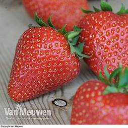 Strawberry 'Sweetheart'