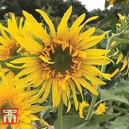Sunflower 'Astra Gold'