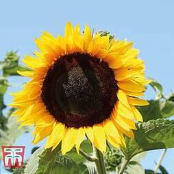 Sunflower 'High Hopes'