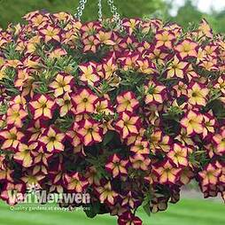 Petunia 'Surfinia Star Burgundy'