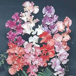 Sweet Pea 'Fragrant' (Start-A-Garden™ Range)