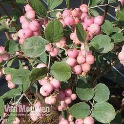 Symphoricarpos x doorenbosii 'Mother of Pearl'