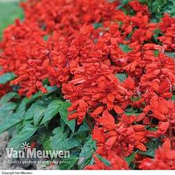 Salvia 'Blaze Of Fire'