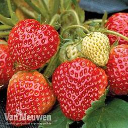 Strawberry 'Honeoye' (Early Season)
