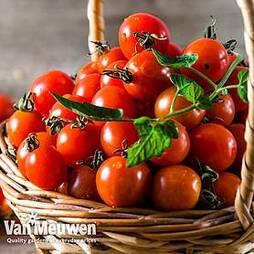 Tomato 'Solena Red' F1 Hybrid