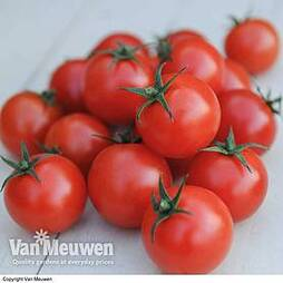 Tomato 'Gardener's Delight'