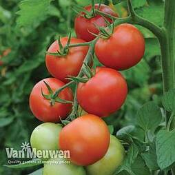 Tomato 'Moneymaker'