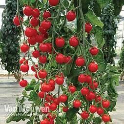 Tomato 'Bitesize'