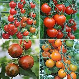 Nurserymans Choice Tomatoes
