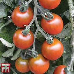 Tomato 'Ruby Falls'