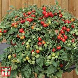 Tomato 'Red Profusion'