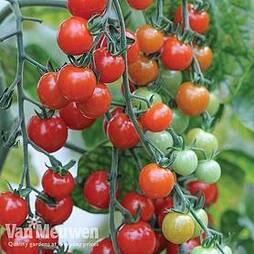 Tomato 'Sweet Aperitif'