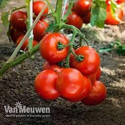 Tomato 'Sportivo' (grafted)