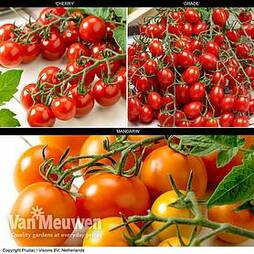 Tomato 'Tutti Frutti Collection'