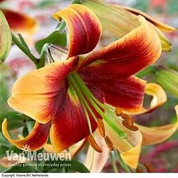 Tree Lily 'Debby'