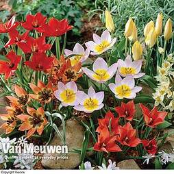 Tulip 'Ground Cover Mix'