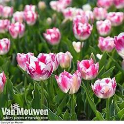 Tulip 'Blenda Flame'